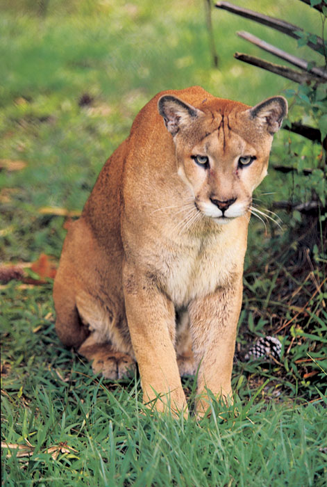 florida panther Q we don't hear much about the bobcat where do they live (just in florida or all over the us) how many live in our state and has there.